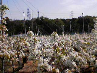 黒川梨の花