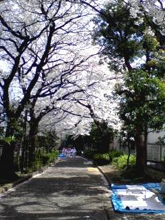 玉川上水緑道・幡ヶ谷の桜並木