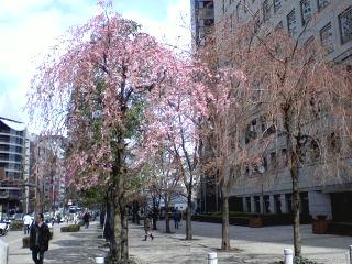 玉川上水緑道の桜はどうか