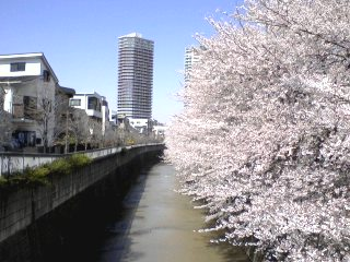 神田川の桜