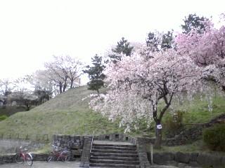 丘の上広場の桜