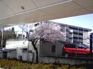 ハナミズキ線の桜