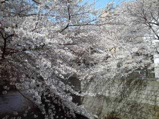 昼休み散歩:神田川の桜