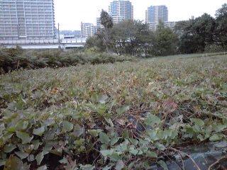 黒川で芋掘り