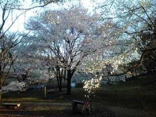 黒川の桜、今年は遅い